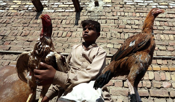 A young vender displaying the roosters to attract the customers at Fort Road