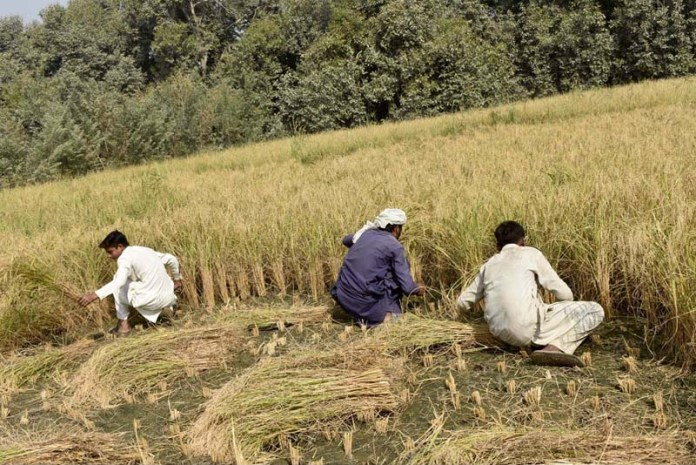 FAISALABAD: November 01 - Farmers busy in harvesting rice crop in their field. APP photo by Muhammad Waseem