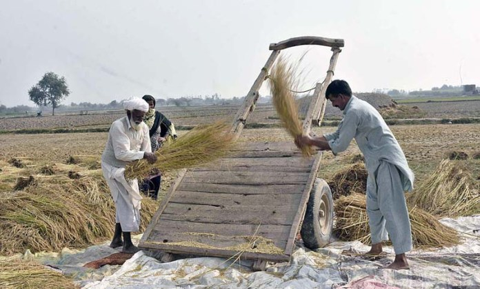 Farmers busy in threshing rice crop in traditional way in their field