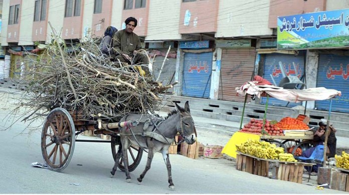 A person on the way back at his donkey driven cart loaded with dried tree branches