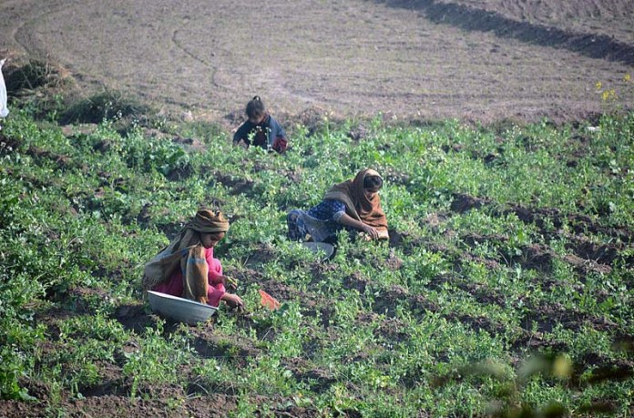 Farmers women plucking peas in their field