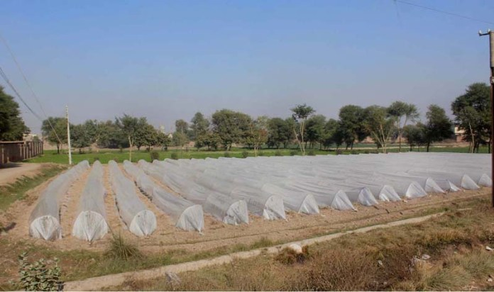 A view of farm field cover with plastic sheets to protect crop from chilled weather