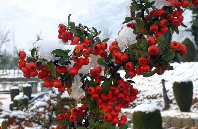 A beautiful view of berries after snow fall in the city