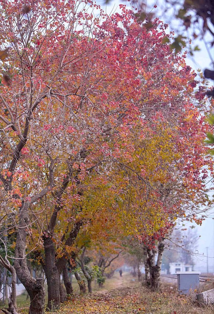 An attractive view of leaves of trees changing colour and drops dry leaves at Chaklala Railways Station during autumn season