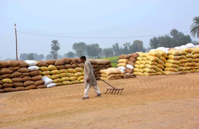 Laborer busy in spreading rice crop for drying purpose