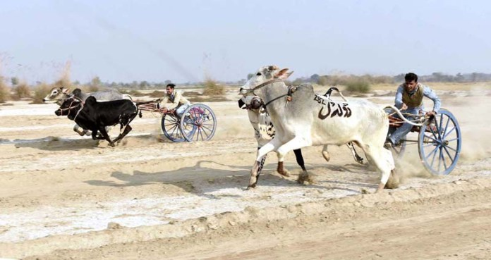 Farmers participating in bull-cart race in a village to enjoy winter season