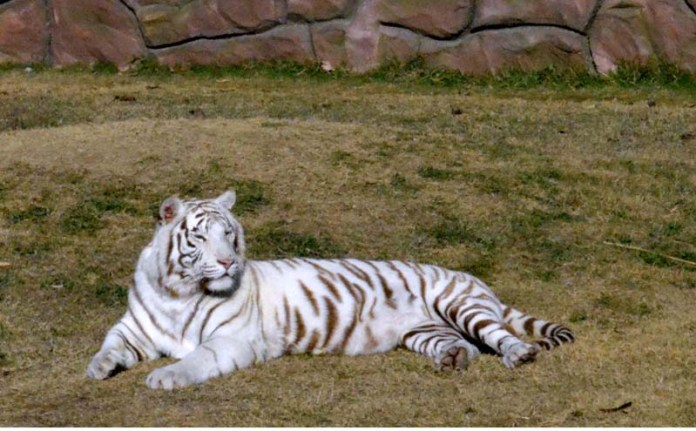 A beautiful rare white Tiger in B-17 Zoo. The specie is endangered. The white tiger or bleached tiger is a leucistic pigmentation variant of the Bengal tigers, Siberian Tiger and man-made hybrids between the two, which is reported in the wild from time to time in the Indian states of Madhya Pradesh, Assam, West Bengal, Bihar and Odisha in the Sunderbans region and especially in the former State of Rewa.[1] Such a tiger has the black stripes typical of the Bengal tiger, but carries a white or near-white coat.. Currently, several hundred white tigers are in captivity worldwide, with about one hundred being found in India. Their unique white color fur has made them popular in entertainment showcasing exotic animals, and at zoos
