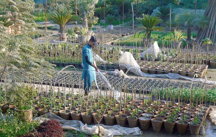 A man busy watering plantlets at a nursery