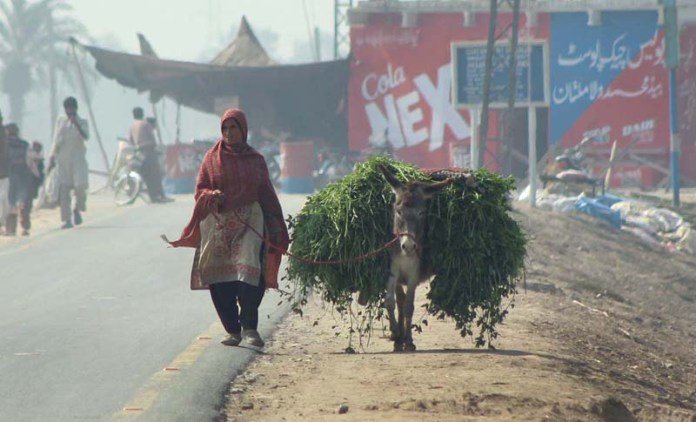 A woman on her way back along with donkey loaded with fodder for animal after cutting from field