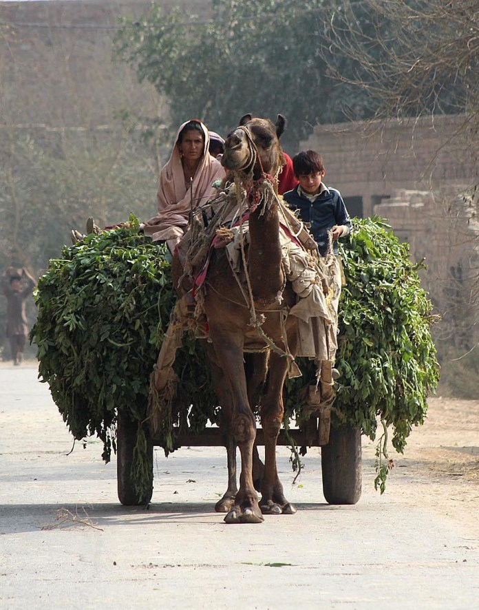Farmer family traveling on the camel cart loaded with fodder for animal after cutting from field