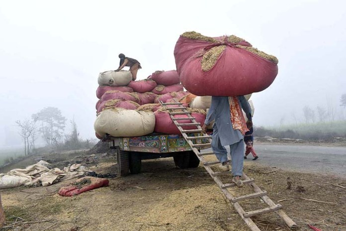 Farmers loading wheat chaff on a trolley to shift it to fodder market