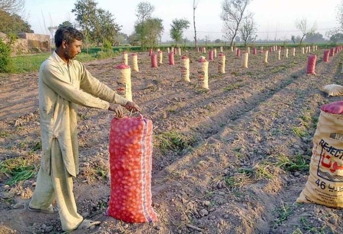 A farmer filling the collected potatoes into plastic bags in his field