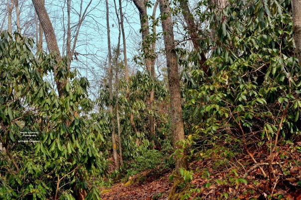 USFS Proposed Burn-Cut Area on Pickem Mountain