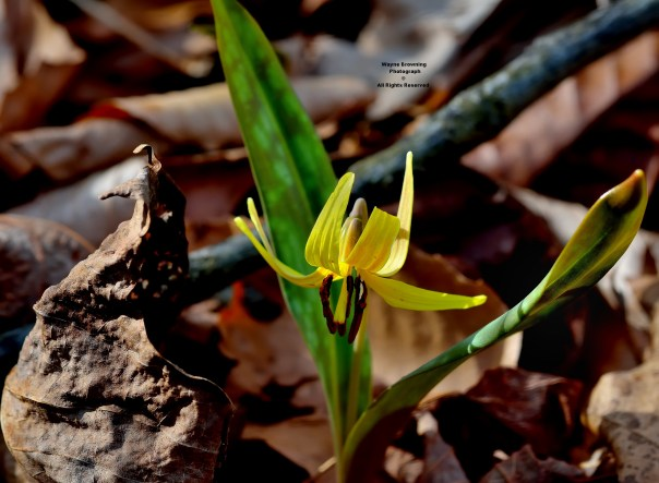 Yellow Trout Lily ( Erythronium spp. ) Blooming - March 9, 2016
