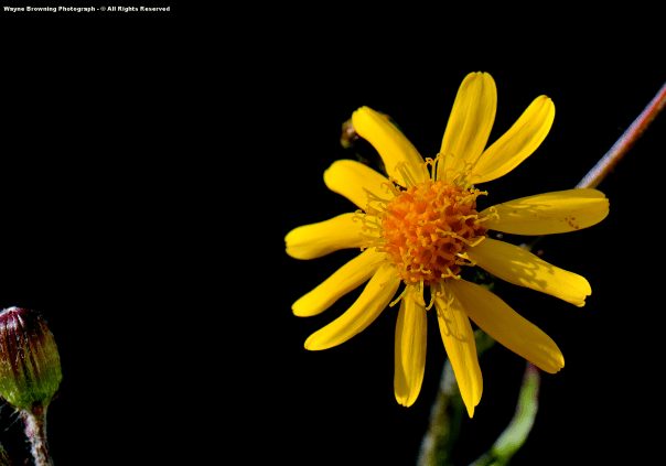 First Golden Ragwort ( Packera spp )