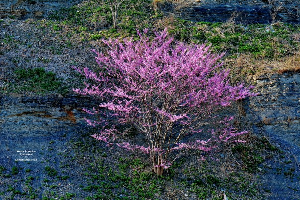 Eastern Redbud ( Cercis canadensis ) Along State Route 83