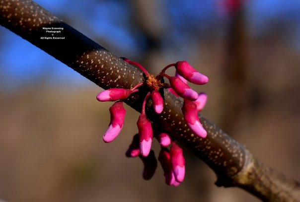 Close Up View of Eastern Redbud