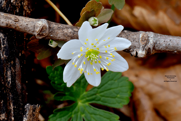 Rue-anemone ( Thalictrum thalictroides ) Is One Of The Hardy Wildflowers