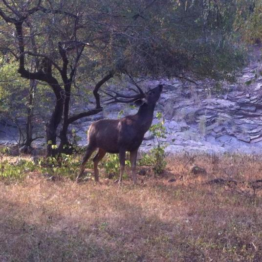 deer at ranthambhore