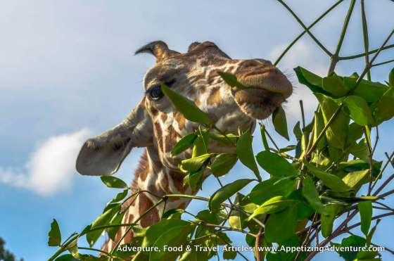 Calauit Safari Busuanga Coron Palawan -013