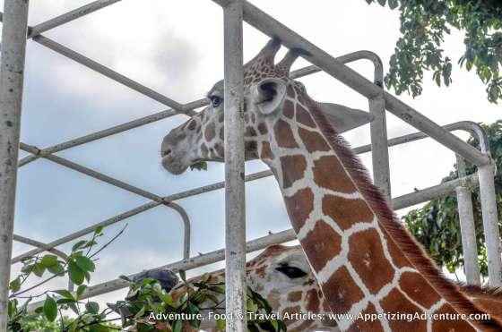 Calauit Safari Busuanga Coron Palawan -041
