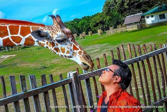 Calauit Safari Park Busuanga Coron Palawan Giraffe A