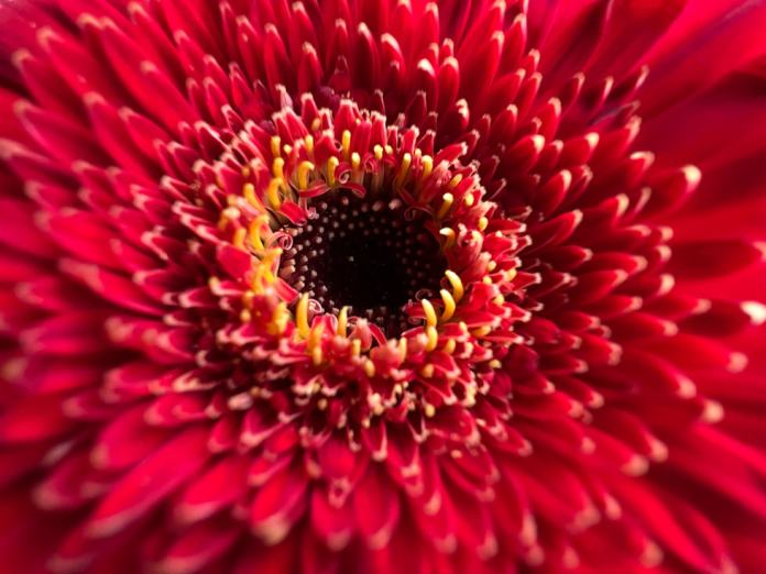 Macro photo of a red flower taken on iPhone 13 Pro's Ultra Wide camera.