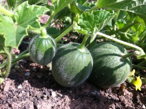 Baby Cantaloupe Three