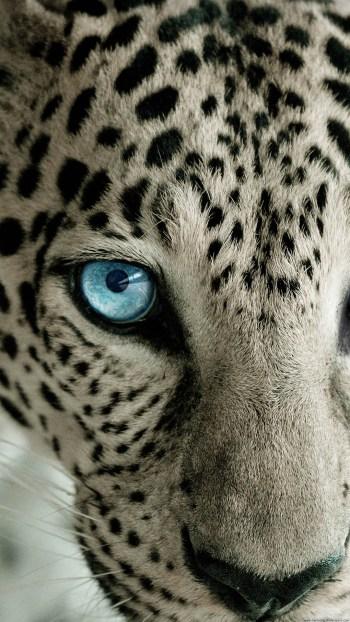 snow-leopard-blue-eye-iphone-6-plus-hd-wallpaper