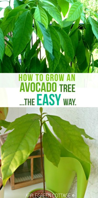 How to grow an avocado tree - this tutorial shows you the easiest way to grow an avocado plant. I wanted to see if a totally 'lazy' way of growing an avocado tree would work, too. And it does! Check it out here.