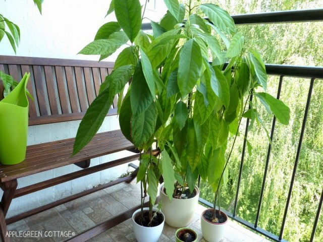 How to grow an avocado plant - the easy way