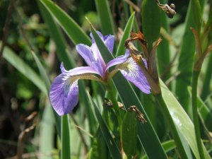 Iris from Portland Trails