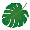 南国の植物モンステラ(Monstera)の葉