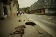 Les chiens errants sont partout en BiH