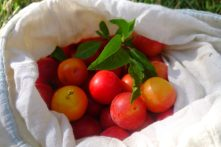 Mirabelles sauvages