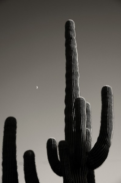 Cactus Cereus par Ari de lucia