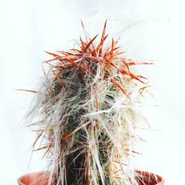 Cactus Mammillaria par Corinna Fochler