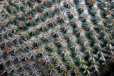 Cactus Mammillaria par Dave Leroux