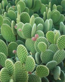 Cactus Opuntia par Demi R+F