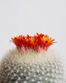 Cactus Mammillaria par Find & Cherish