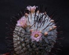 Cactus Mammillaria par Jim Mercer