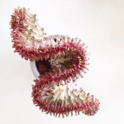 Cactus Cristata par Kanae Sato