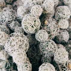Cactus Mammillaria par Katie Frezza