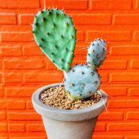 Cactus Opuntia par Lazy Saboten