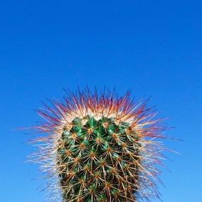 Cactus Mammillaria par Lucie Dulos