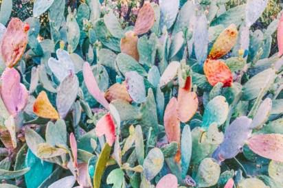 Cactus Opuntia par Nicholas Scarpinato