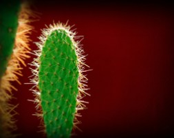Opuntia Cactus par Roberto O