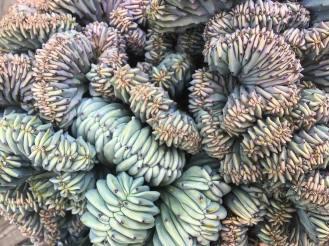 Cactus Cristata par Vanessa Rosanna Merino