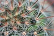 Cactus Mammillaria par Vicente Manuel Tena Leonisa