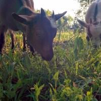 I Hate Goats!